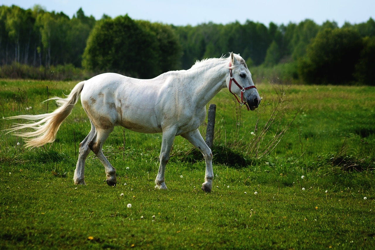 A white horse roaming free on a large plot of land.